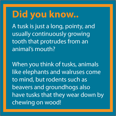 "Did you know blurb containing the text ""A tusk is just a long, pointy, and usually continuously growing tooth that protrudes from an animal's mouth?