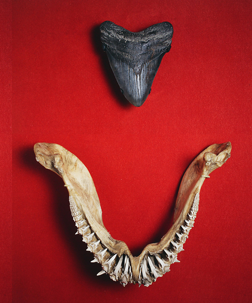 Carcharadon rondeletii tooth fossil and shark jaw